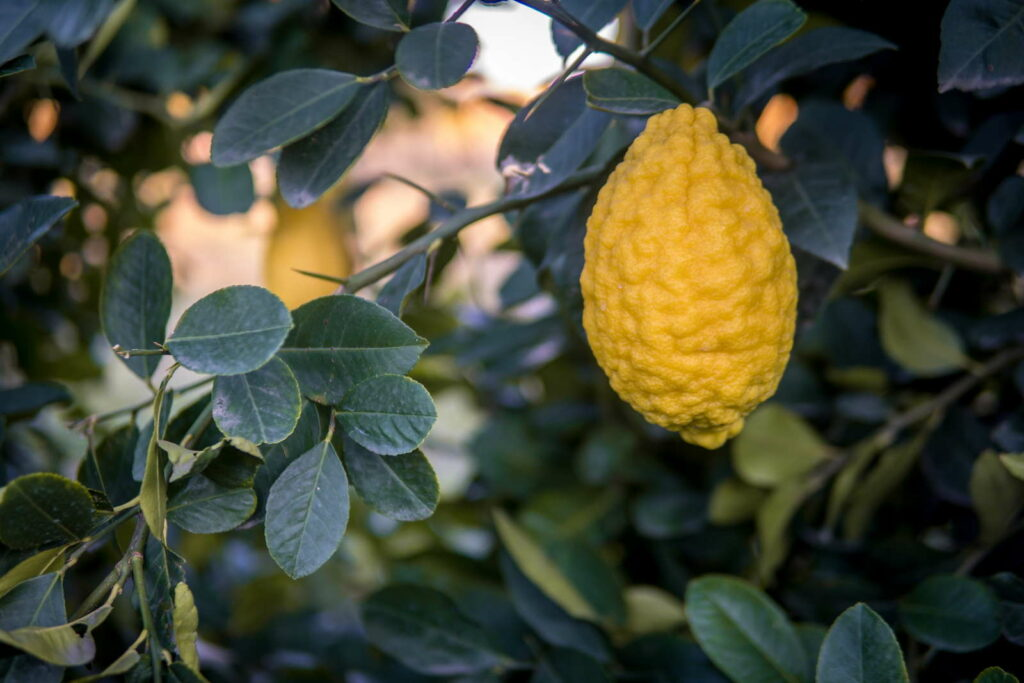 Einzelne Zitronatzitrone am Baum