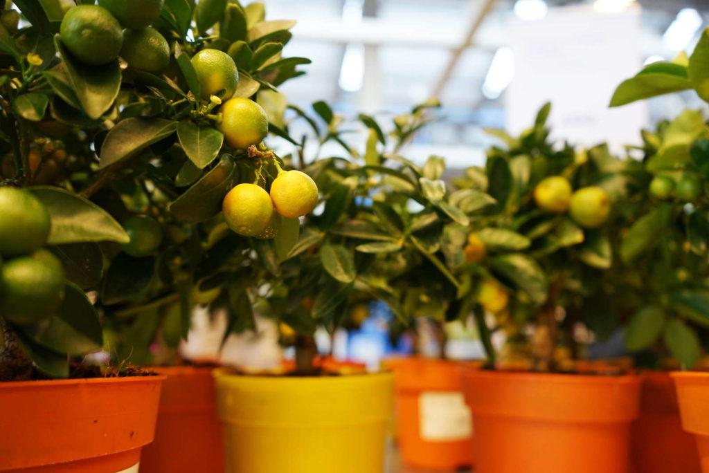 Zitronen in Töpfen