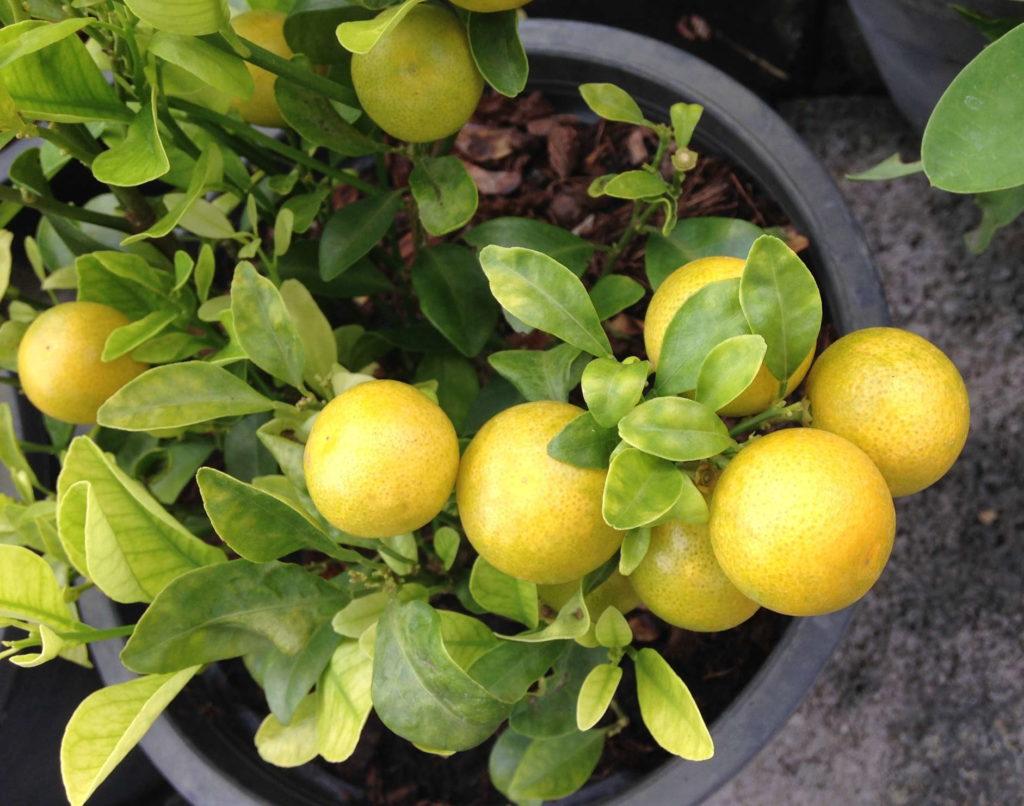 Zitronenbam im Topf von oben