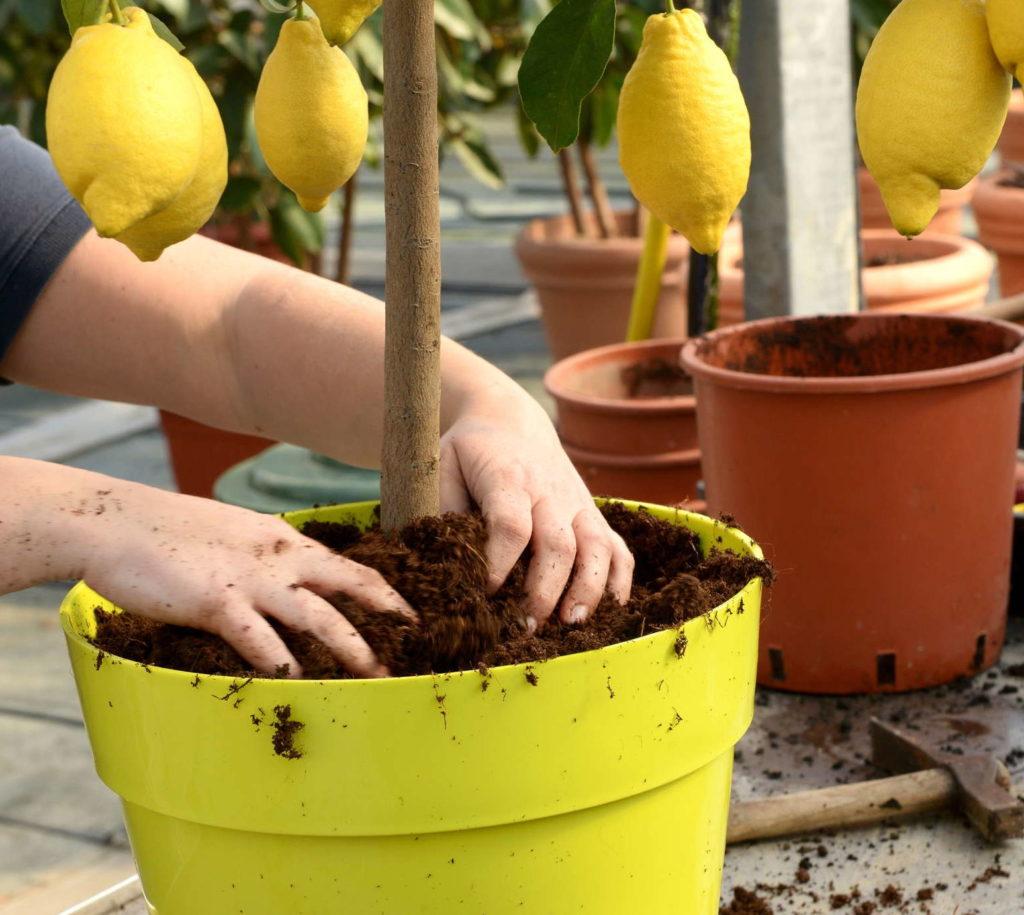 Zitronenbaum umtopfen