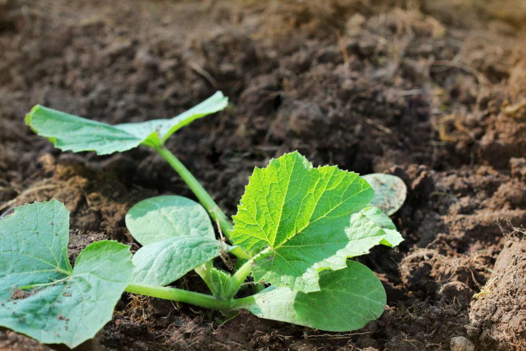 Zucchini Jungpflanze im Beet