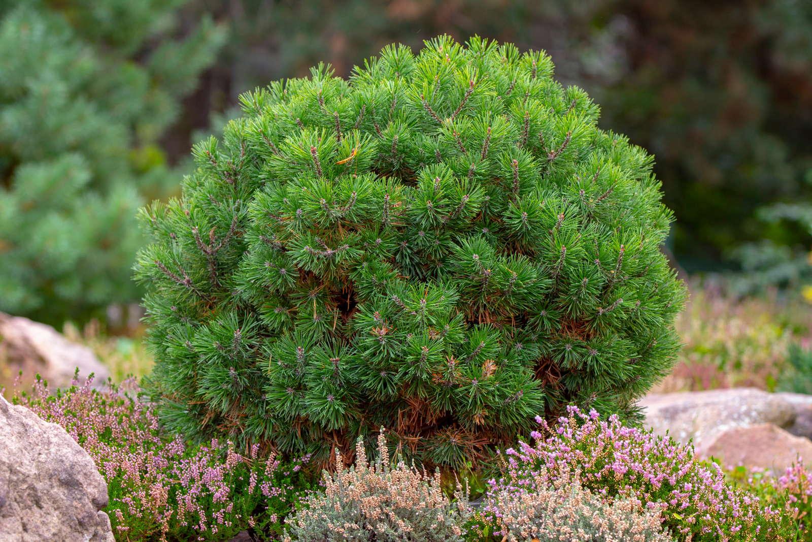 Immergrune Kubelpflanzen Pflanzen Fur Kubel