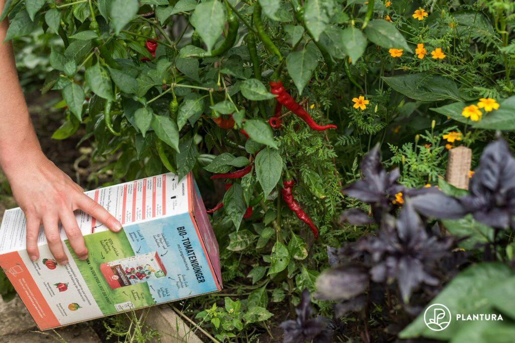 Chili-Düngung mit Plantura Bio-Tomatendünger