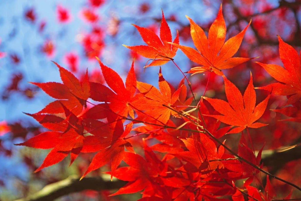 Roter Fächer-Ahorn