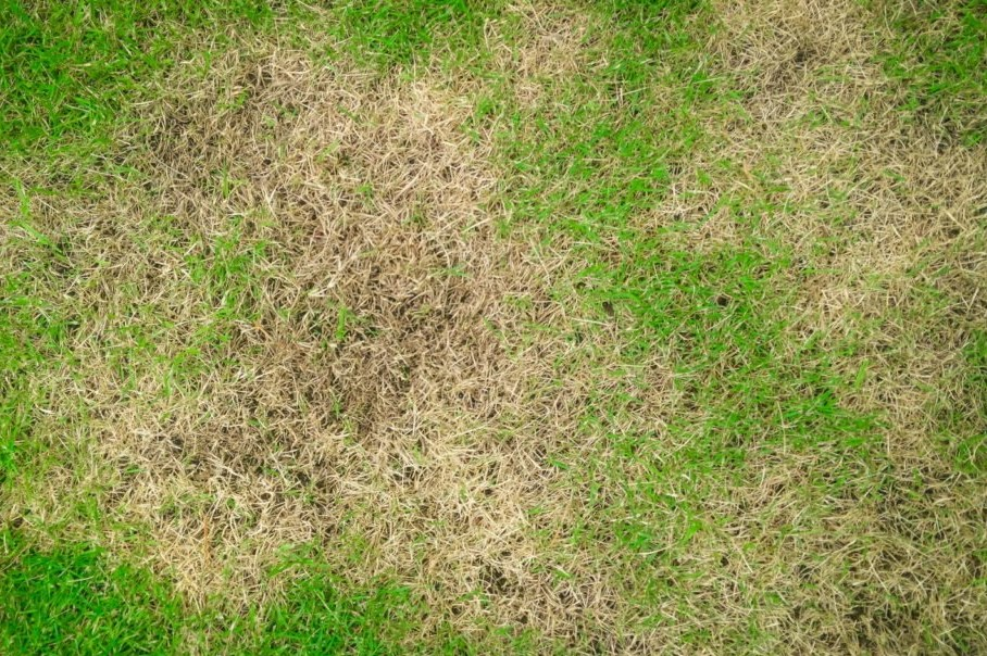 Rasen mit gelben Flecken