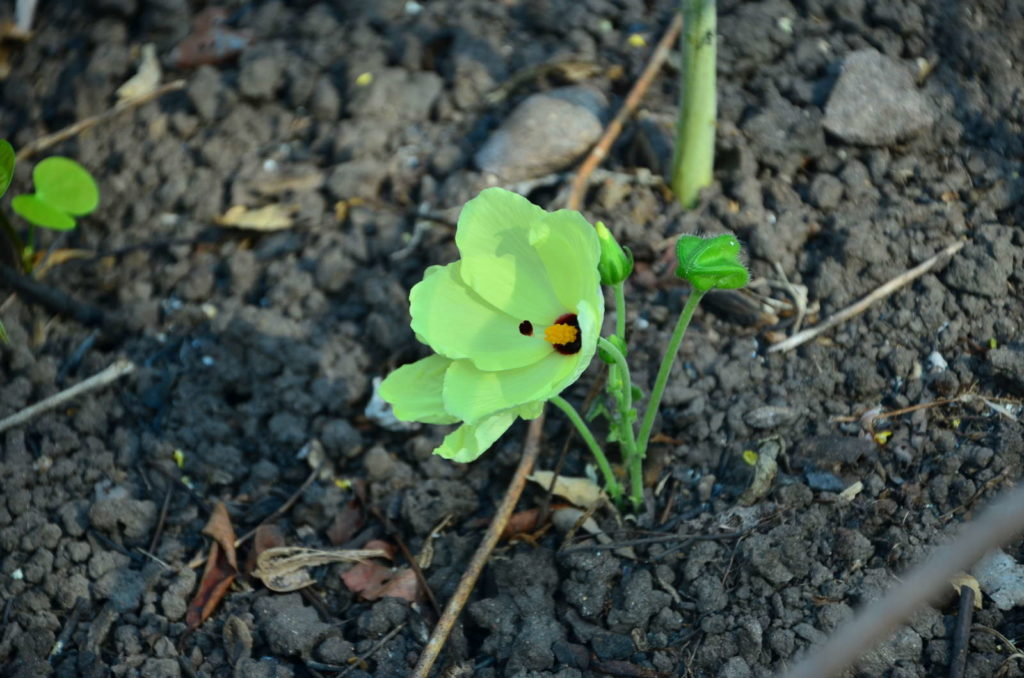 grüner Hibiskussprössing in der Erde