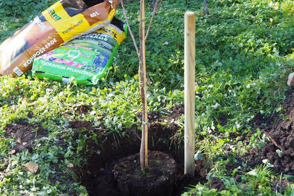 Kirschbaum im ausgehobenen Pflanzloch