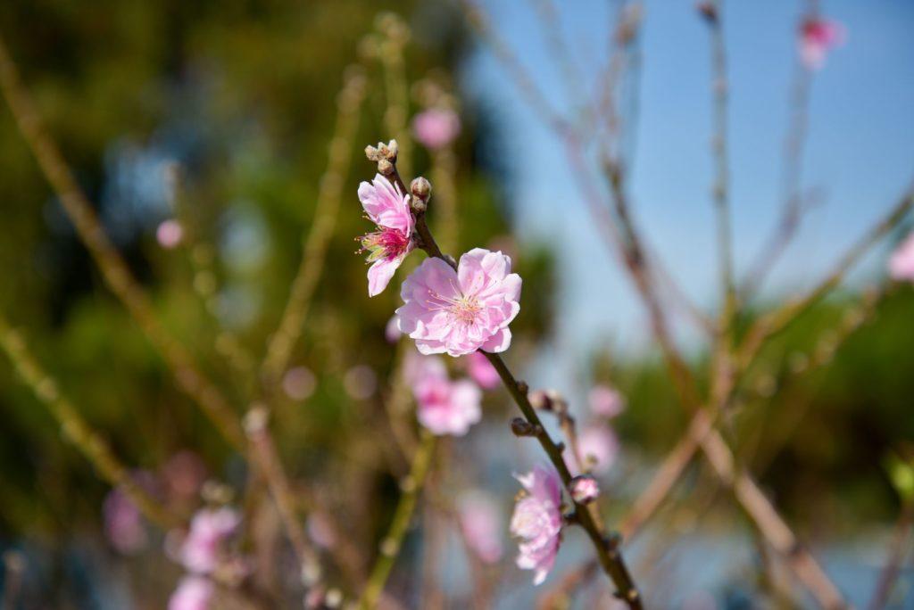 Blüten am Zweig des Kirschbaums