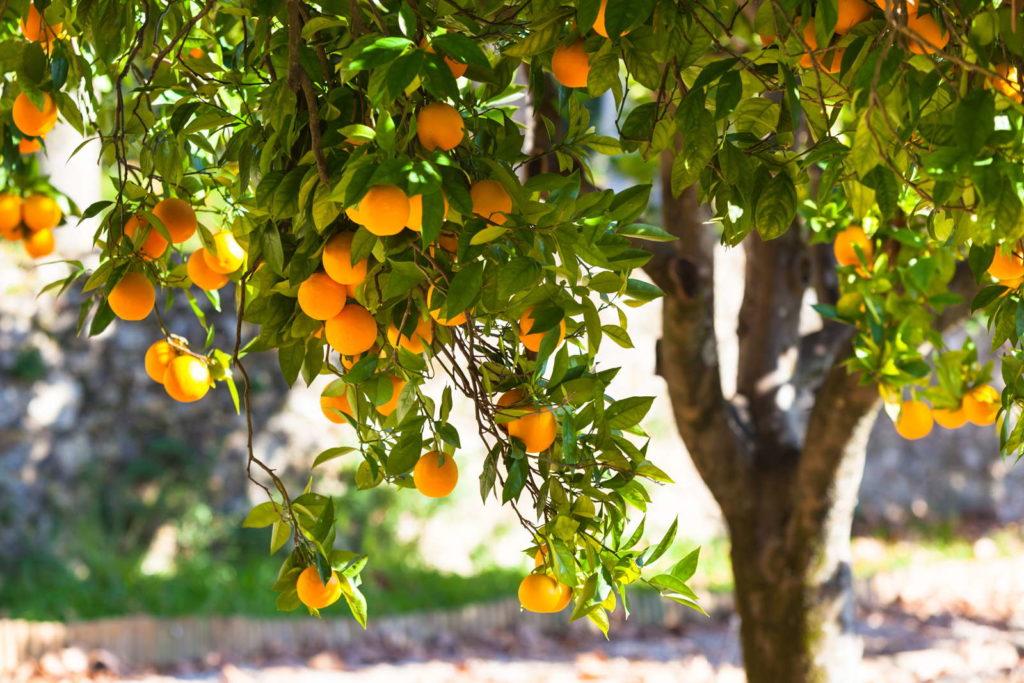 orangenbaum Stamm und Zweige in der Sonne