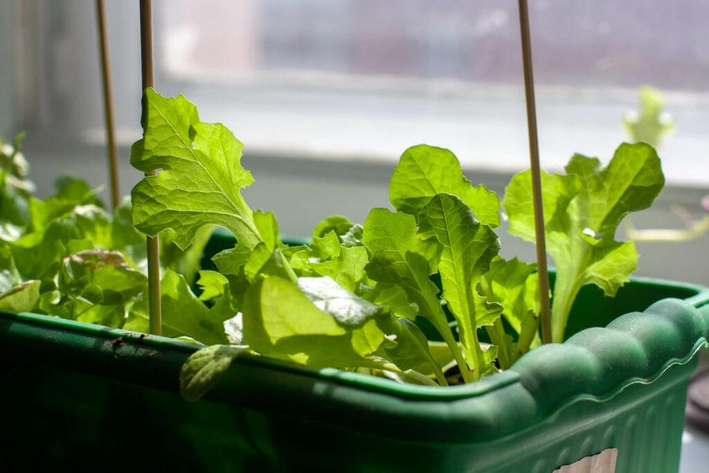 Salat auf Fensterbank