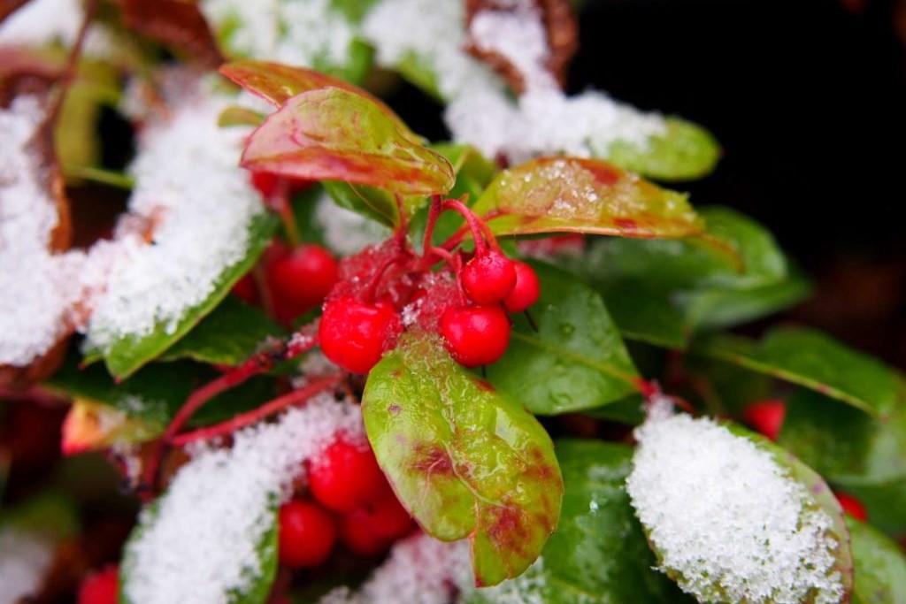 Scheinbeere mit Schnee auf Blättern