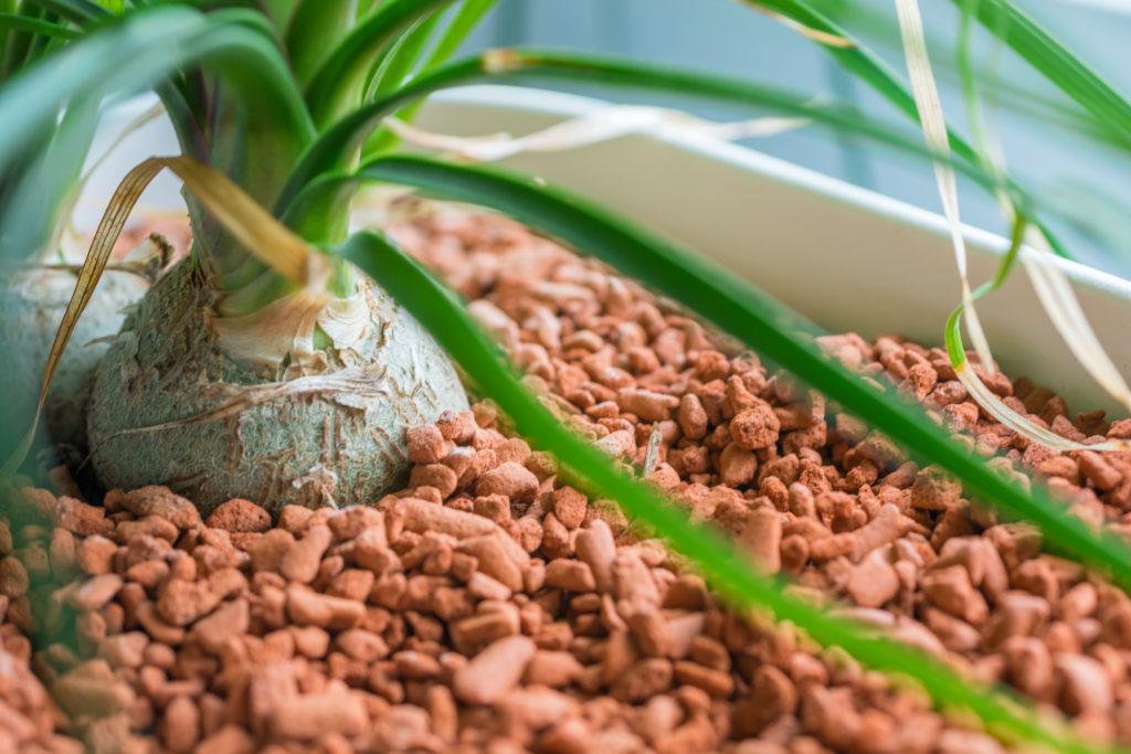 Seramis als Alternative zu Tongranulat für Pflanze