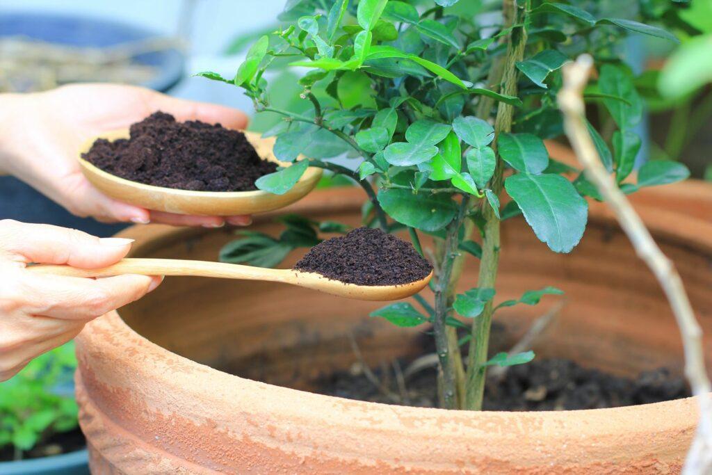 Düngen einer Zimmerpflanze