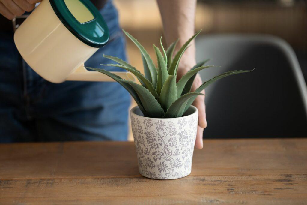 Gießen einer Zimmerpflanze mit Flüssigdünger