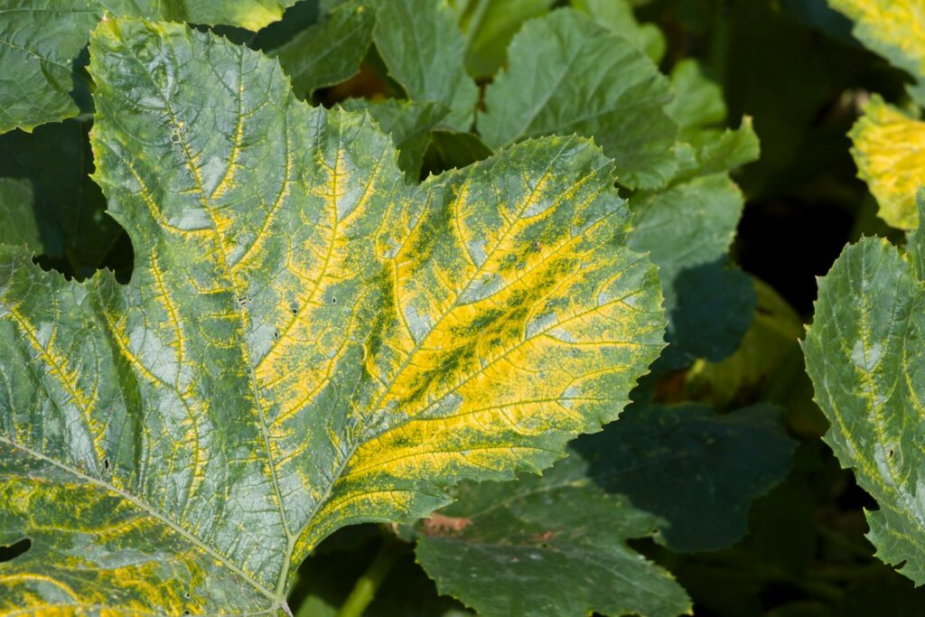 Zucchini mit Gelbmosaikvirus