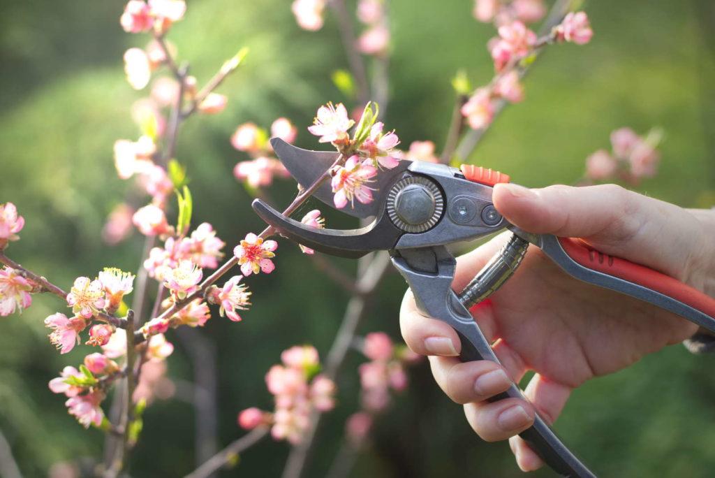Schneiden eins Pfirsichbaums mit einer Gartenschere in der Sonne