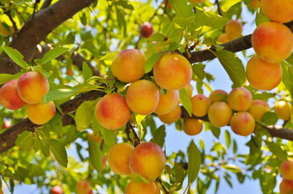 gelbe Pfirische hängen an einem Baum