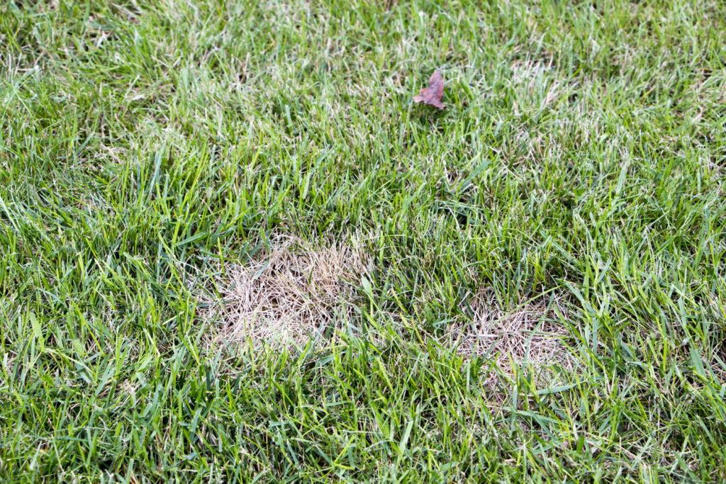 Zwei kleine Stellen kranker Rasen