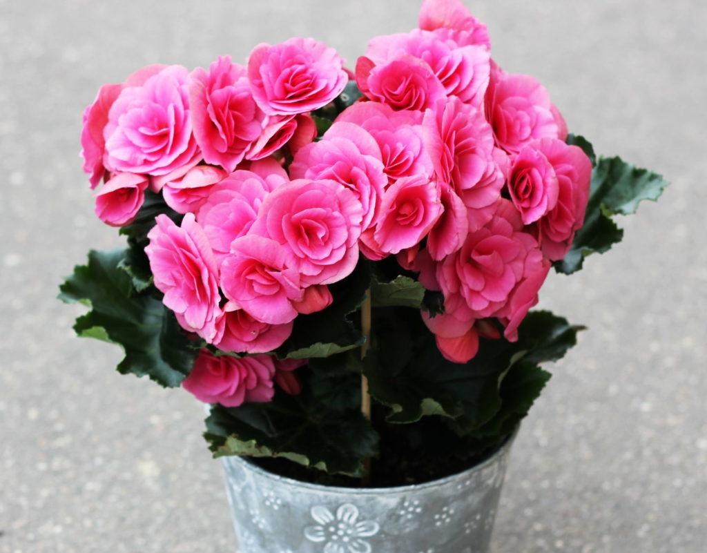 Blumentopf mit rosa Blumen