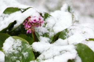 Bergenie Im Schnee
