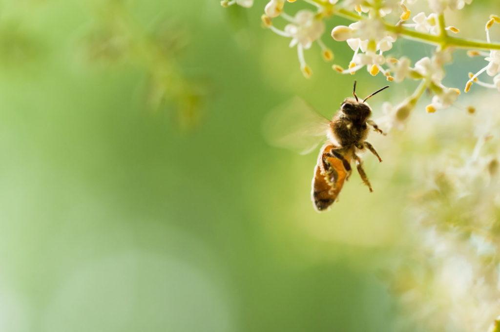 Biene fliegt zu Blüte