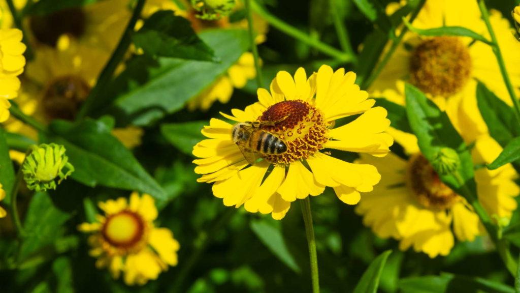 Biene in Helenium autumnale