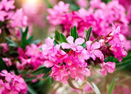 Blühender Pinker Oleaner