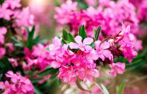 Oleander Düngen: Richtige Pflege Für Prächtige Blüten