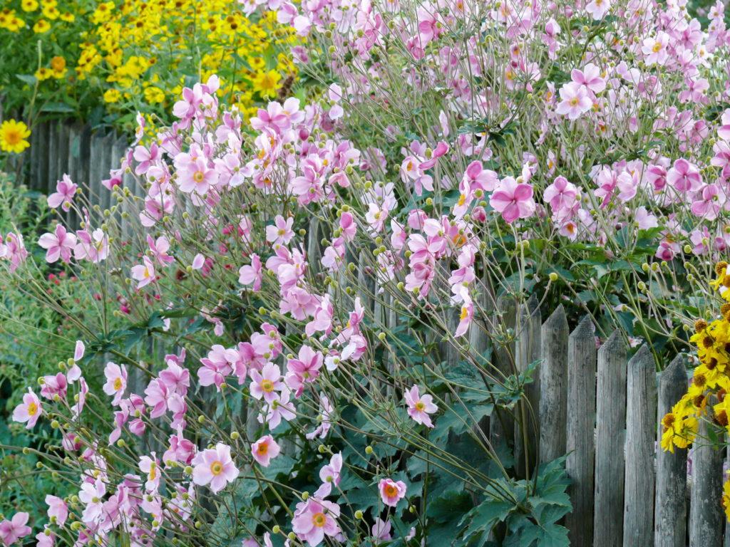 Rosa China-Herbstanemone