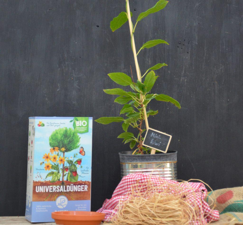Universaldünger neben einem Kiwibeerenbaum