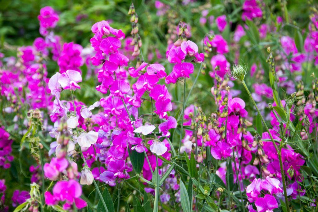 Rosa Duftwicke im Garten