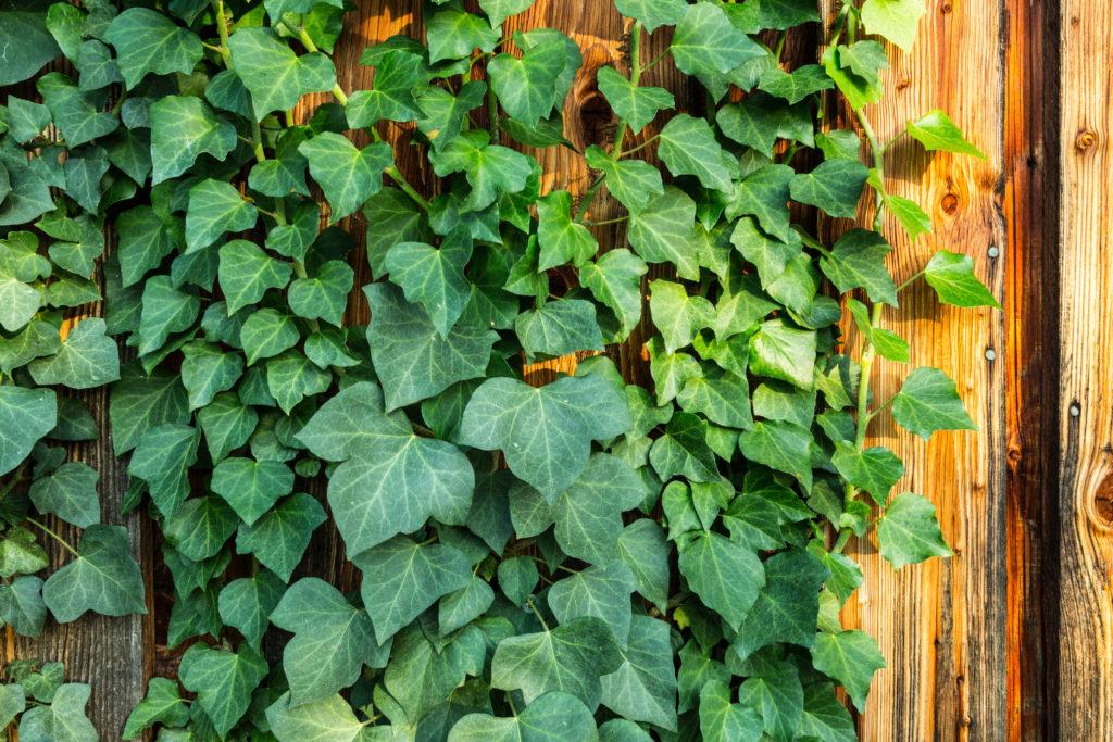 Gemeiner Efeu wächst auf Holz