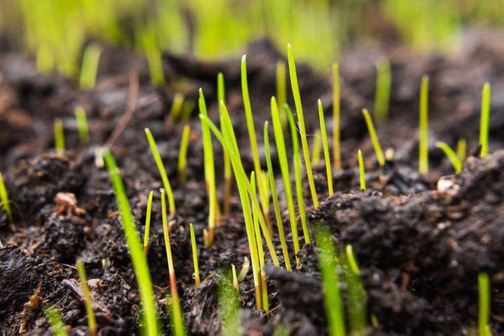 Junge Gräser im Feld