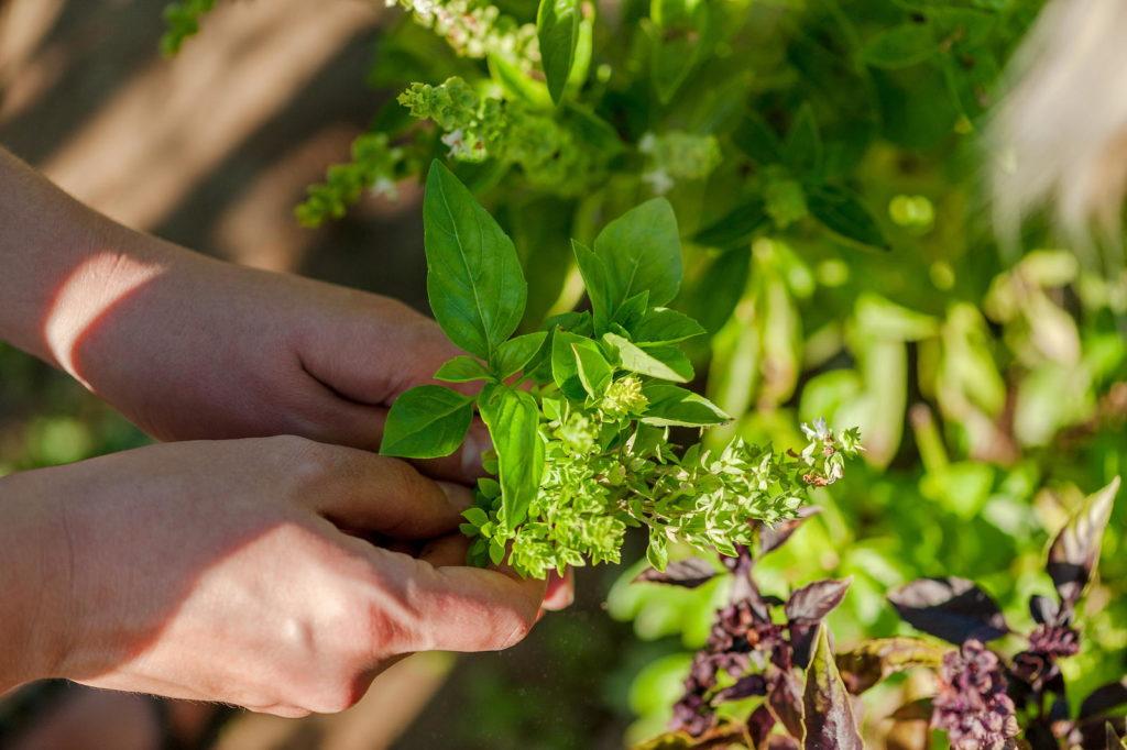 Zwei Hände pflücken frische Kräuter aus dem Garten