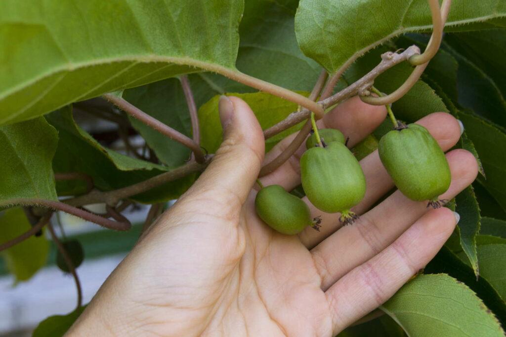 Hand hältsanft Kiwibeeren am Baum