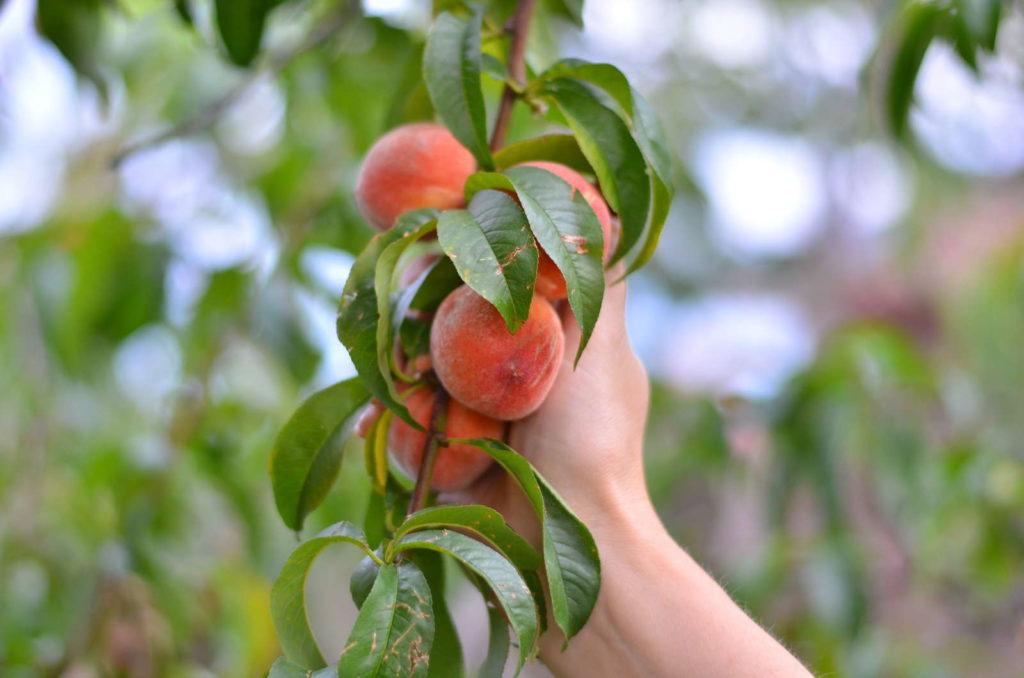 Hand an Pfirsichbaumzweig, der Pfirische trägt