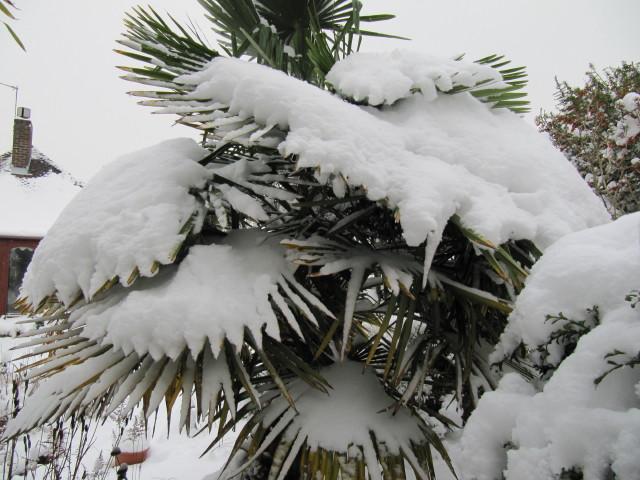 Hanfpalmen im Garten voller schnee