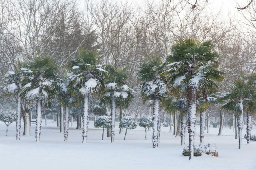 Hanfpalmen stehen auf einer Wiese im Winter