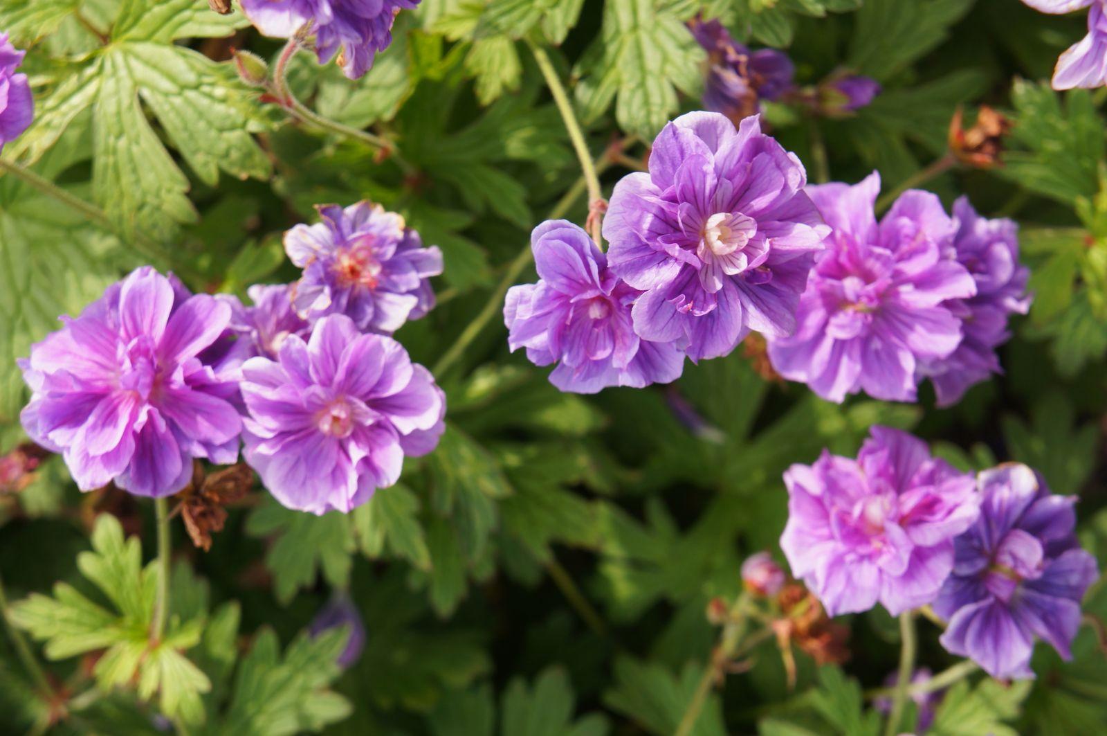 die schöne blaue LAMPIONBLUME wächst schnell und hat wunderbare blaue Blüten