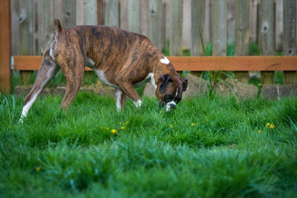 Hund auf Rasen