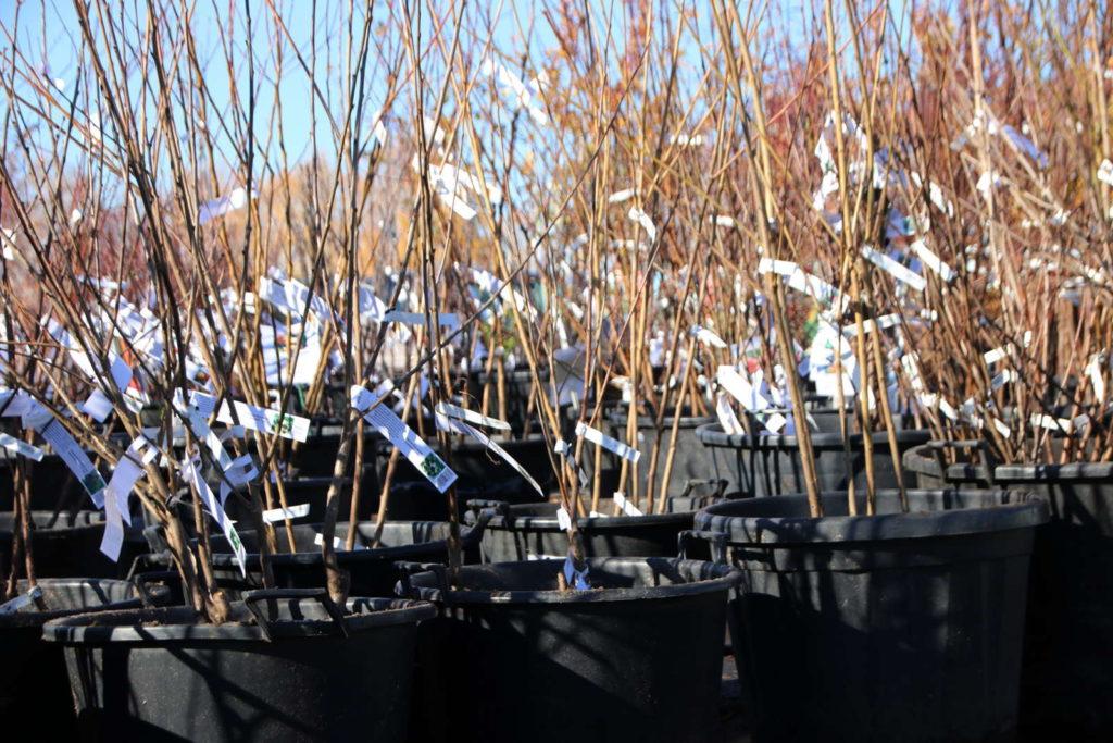 Junge Obstbäume in Plastikkörben
