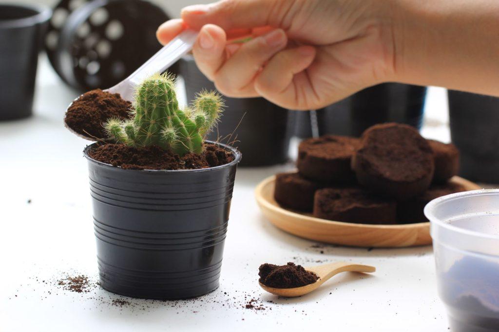 Kaktus wird mit Kaffeesatz gedüngt