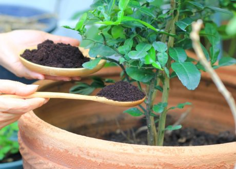 Kaffeesatz Wird Mit Einem Löffel In Eine Topfpflanze Gegeben