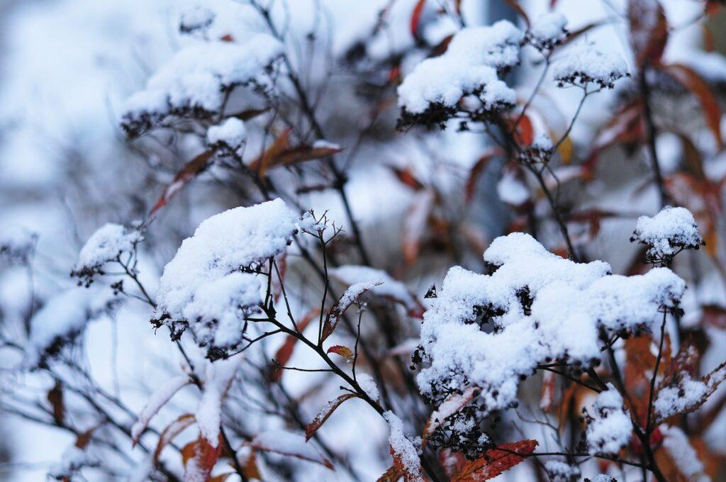 Mädesüß Winter