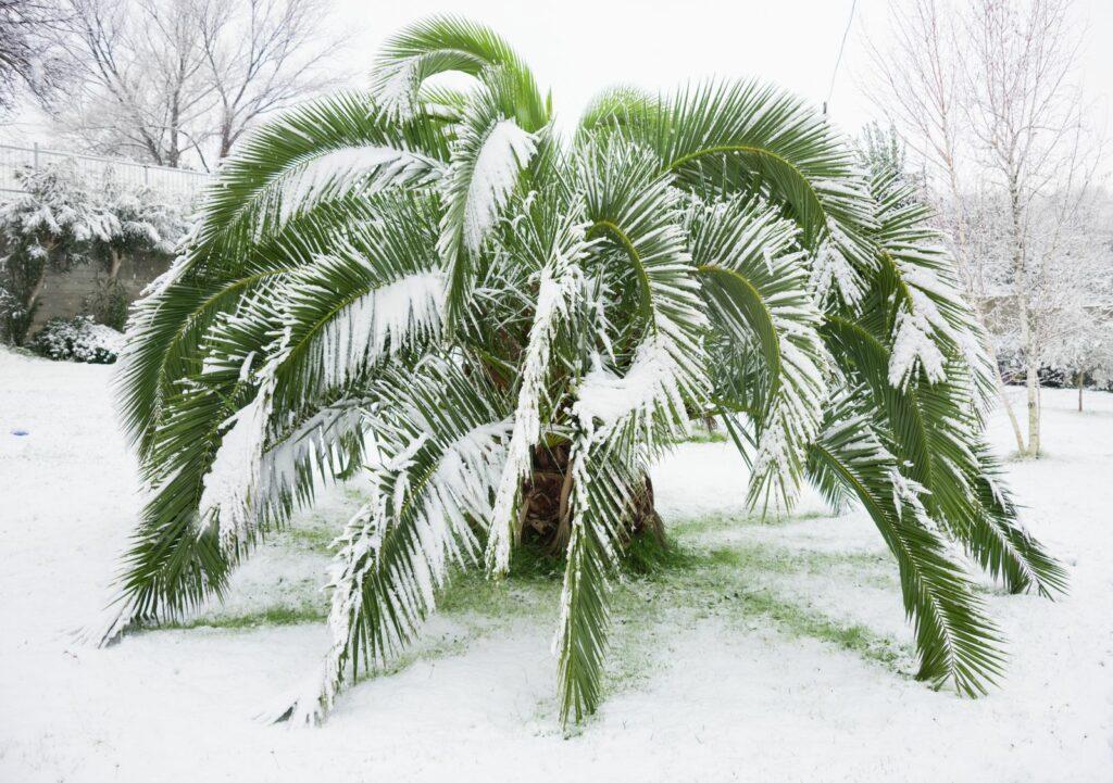 Palme im Schnee