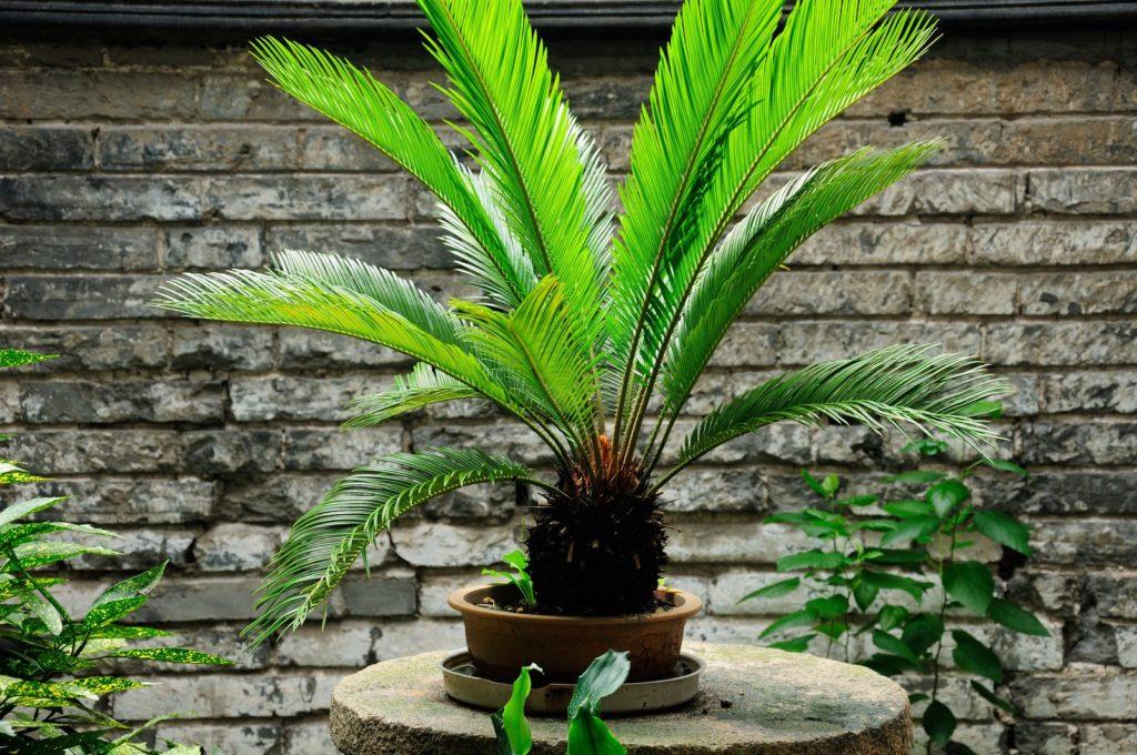 winterharte palmen die besten arten f r den garten plantura
