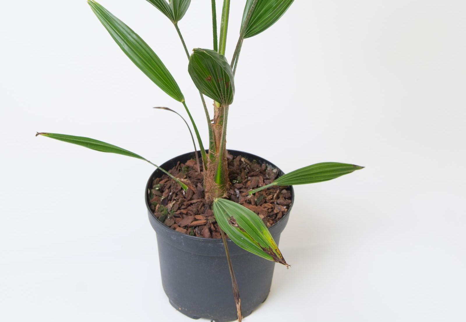 hanfpalme experten tipps zu anbau pflege und co plantura