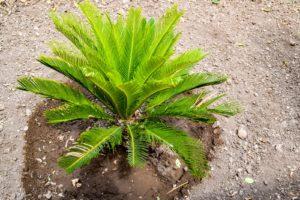 Palme Mit Erde