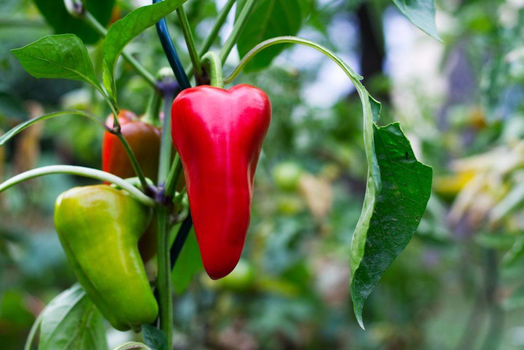 Paprika Pflanze im Garten