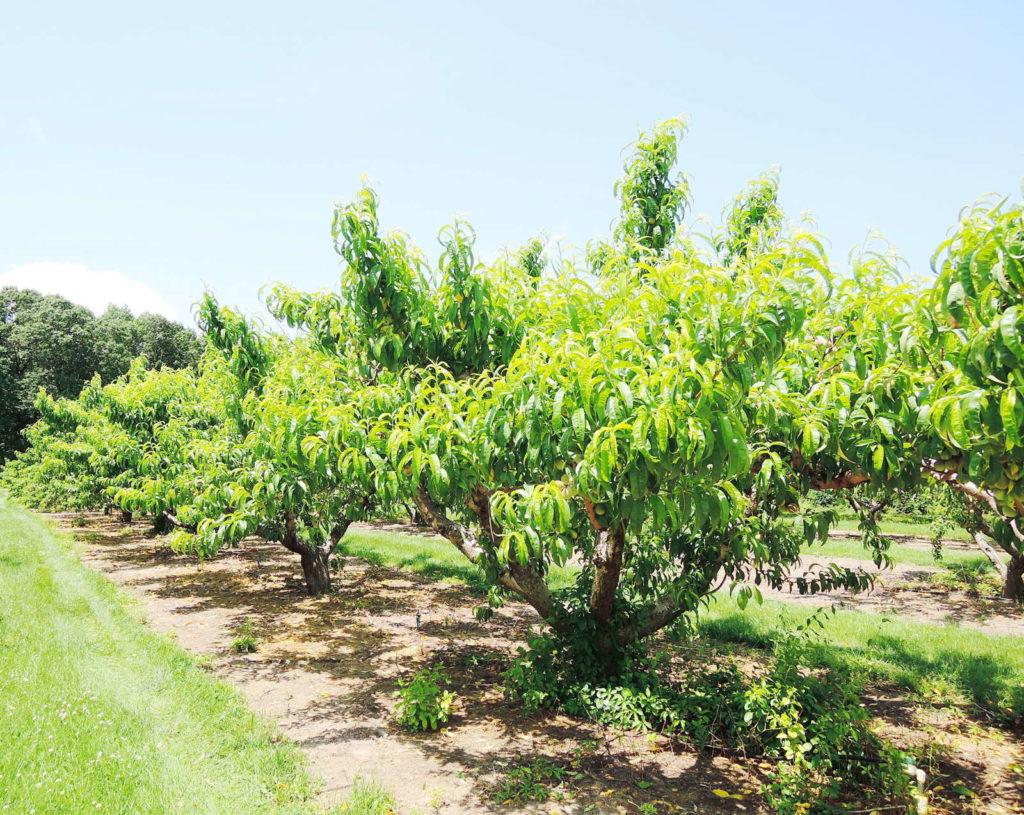 Pfirsichbäume nebeneinander auf einer Wiese